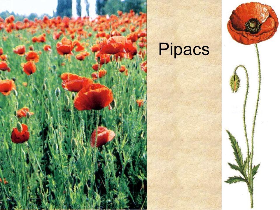 Pipacs Bal oldali kép: Simon-Seregélyes: Növényismeret, Nemzeti Tankönyvkiadó, 1998.
