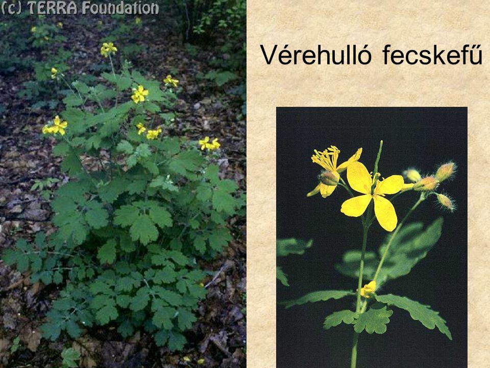 Vérehulló fecskefű Bal oldali kép: Hazánk növényvilága CD, Terra alapítvány.