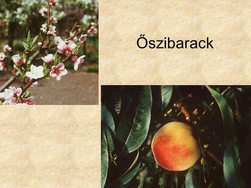 Őszibarack HERBÁRIUM – Magyarország növényei CD, Kossuth Kiadó