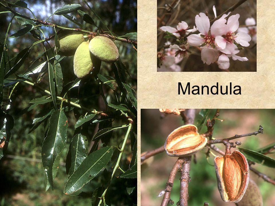 Mandula Jobb felső kép: HERBÁRIUM – Magyarország növényei CD, Kossuth Kiadó.