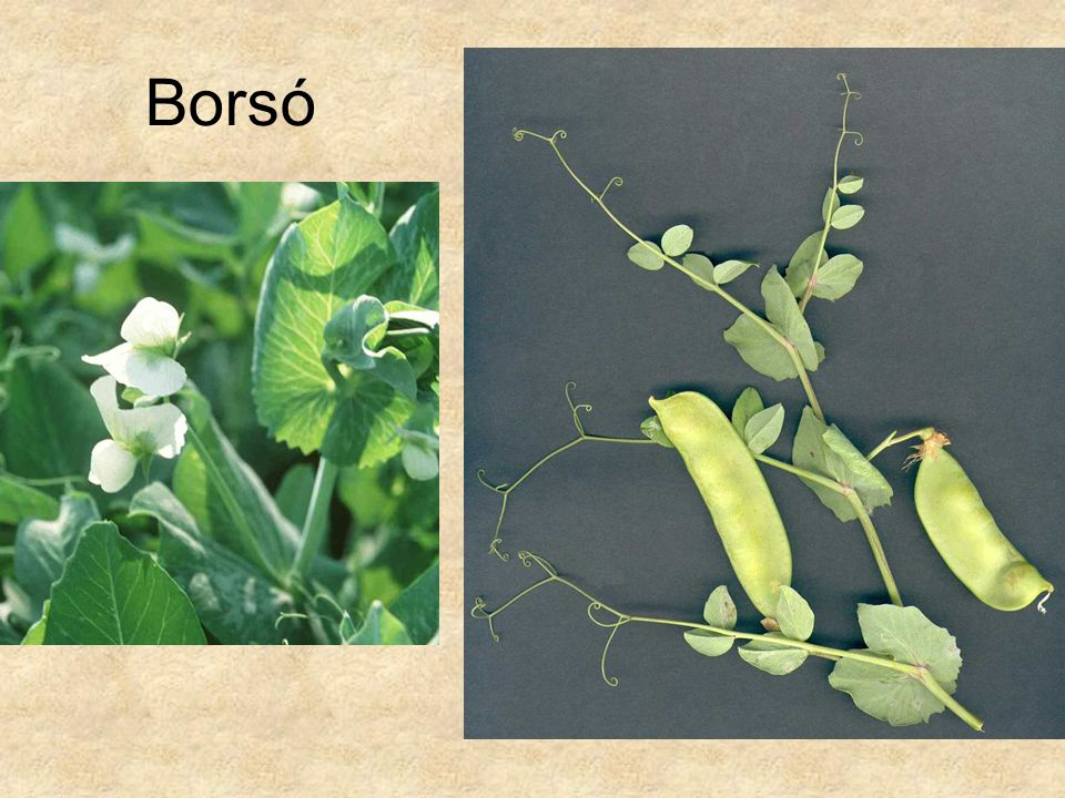 Borsó Jobb oldali kép: HERBÁRIUM – Magyarország növényei CD, Kossuth Kiadó.