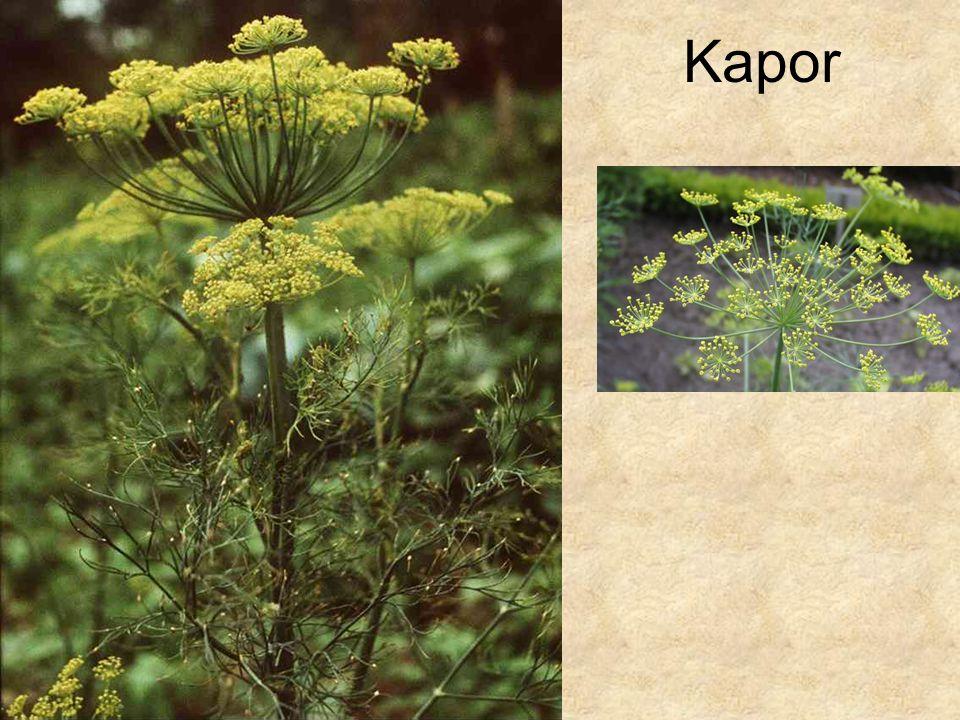 Kapor Bal oldali kép: HERBÁRIUM – Magyarország növényei CD, Kossuth Kiadó.