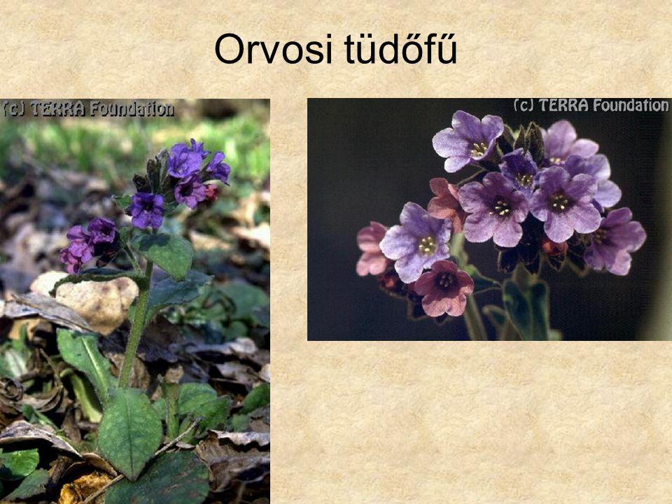 Orvosi tüdőfű Hazánk növényvilága CD, Terra alapítvány