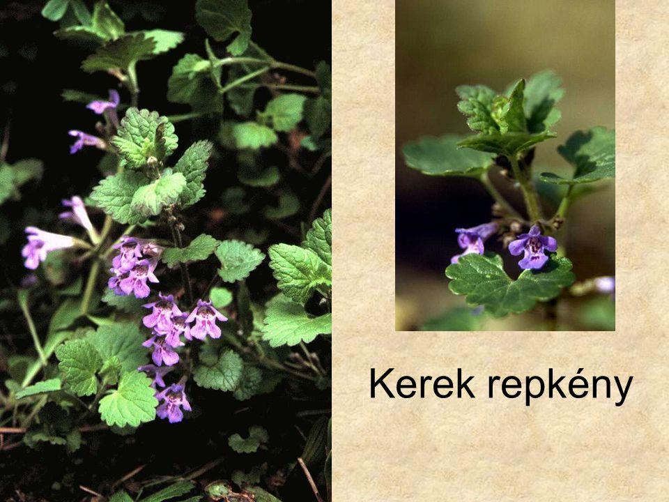Kerek repkény Bal oldali kép: Vadvirágok CD, Kossuth Kiadó