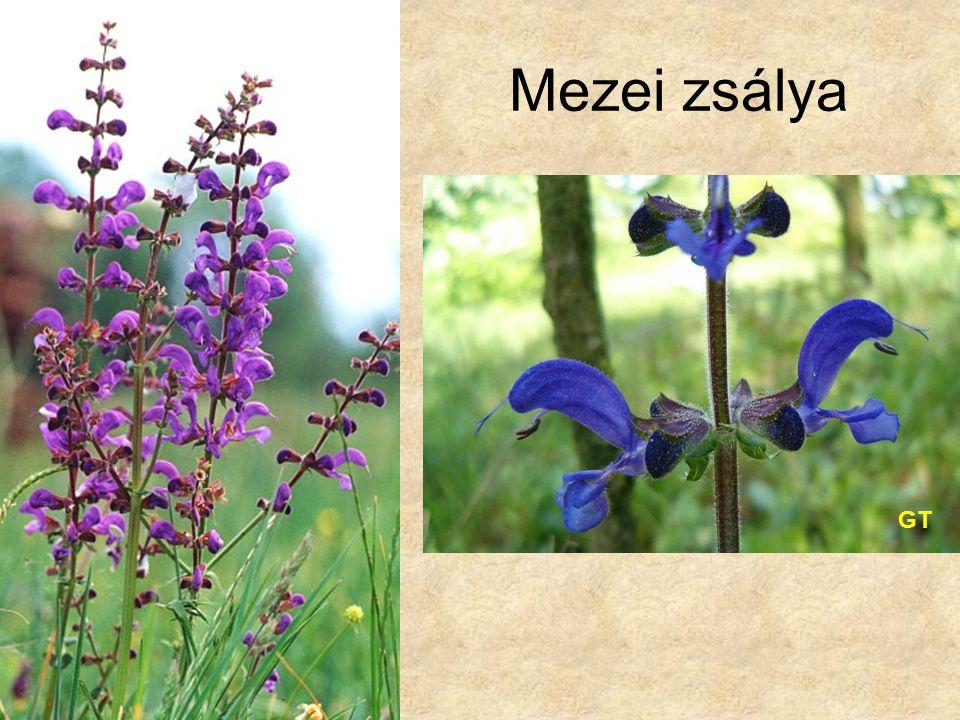 Mezei zsálya GT Bal oldali kép: Internet