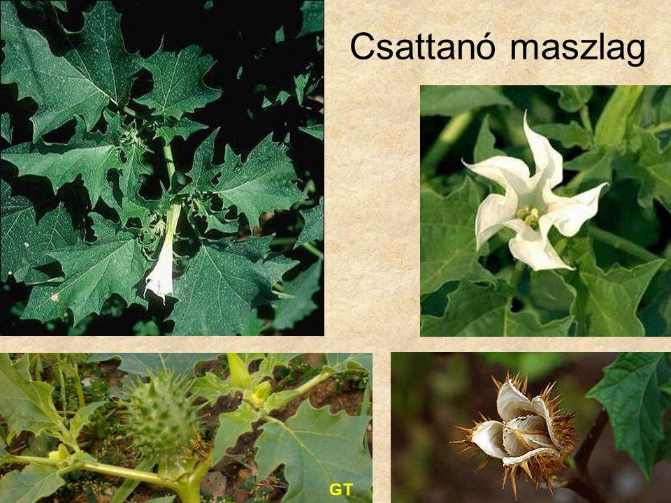 Csattanó maszlag GT Bal felső kép: Vadvirágok CD, Kossuth Kiadó