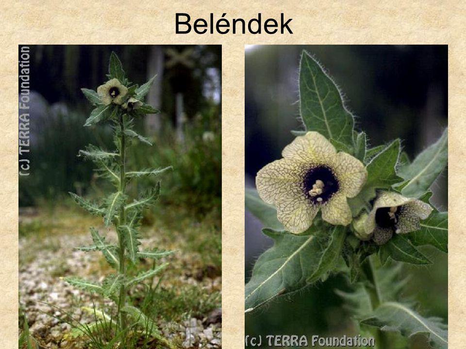Beléndek Hazánk növényvilága CD, Terra alapítvány