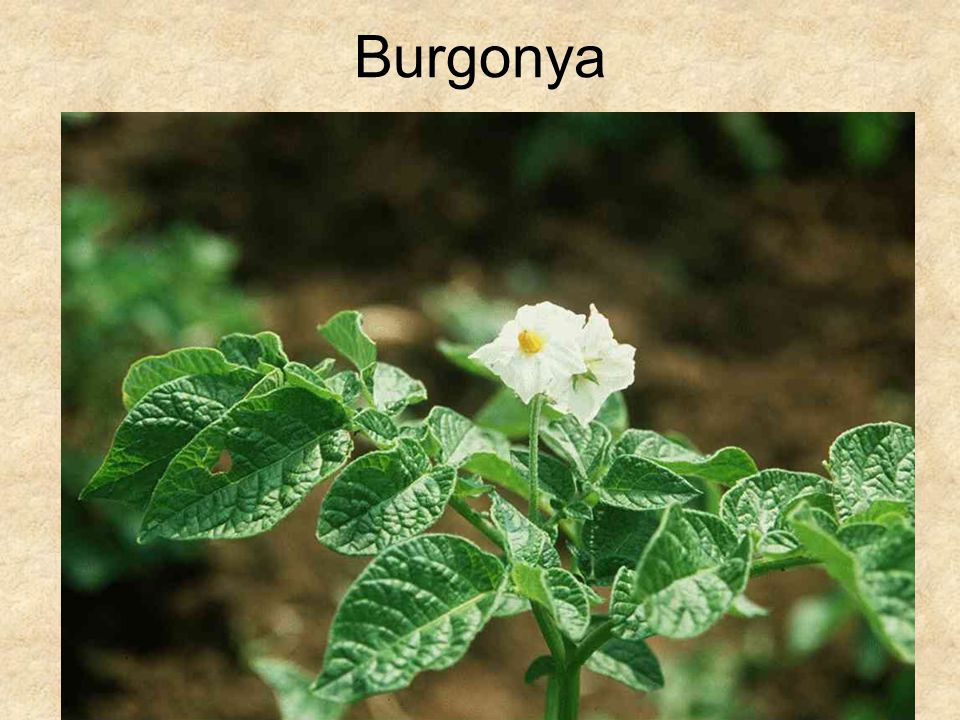Burgonya HERBÁRIUM – Magyarország növényei CD, Kossuth Kiadó