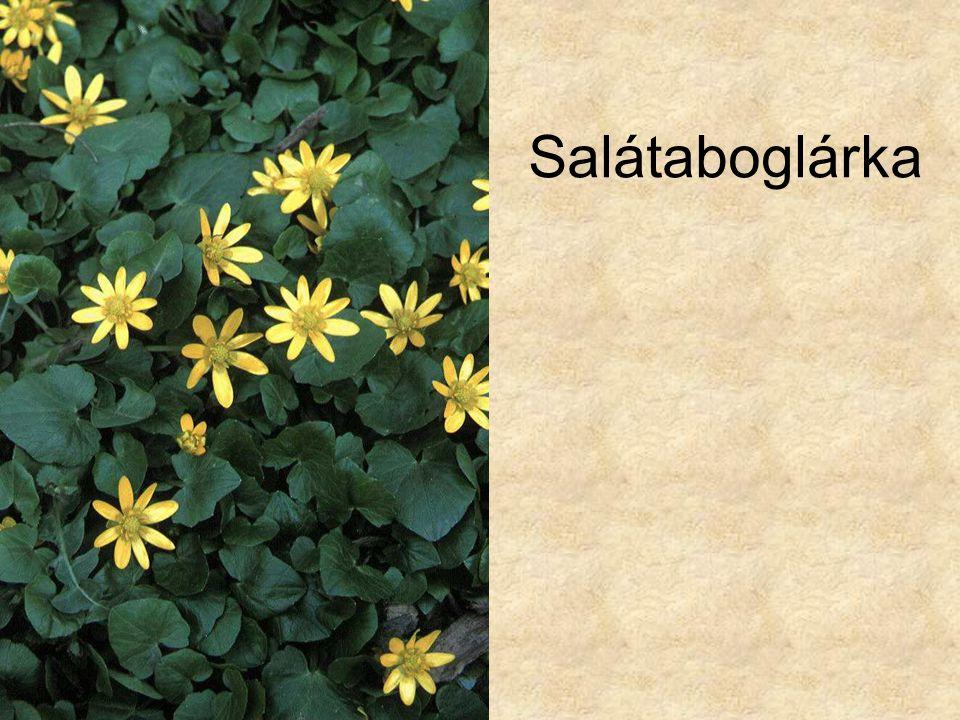 Salátaboglárka Élőhelytípusok és társulások CD, Kossuth Kiadó