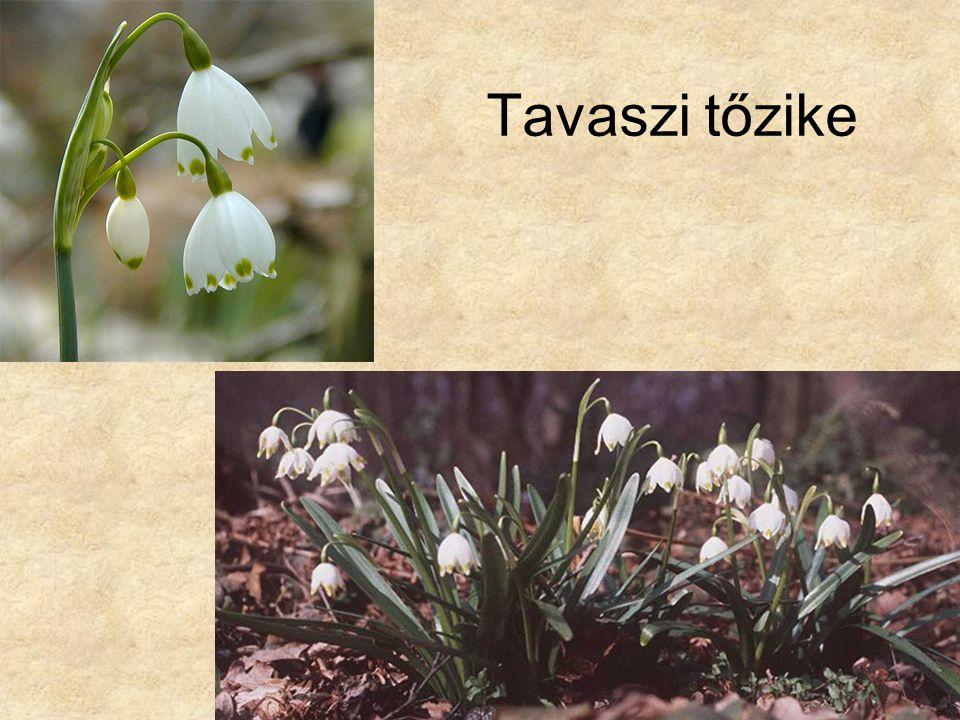 Tavaszi tőzike Bal oldali kép: Internet