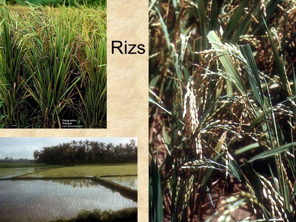 Rizs Jobb felső kép: Internet Másik két kép: Ázsia CD, Kossuth kiadó