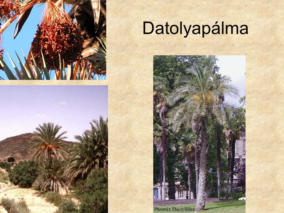 Datolyapálma Bal alsó kép: Afrika CD, Kossuth Kiadó