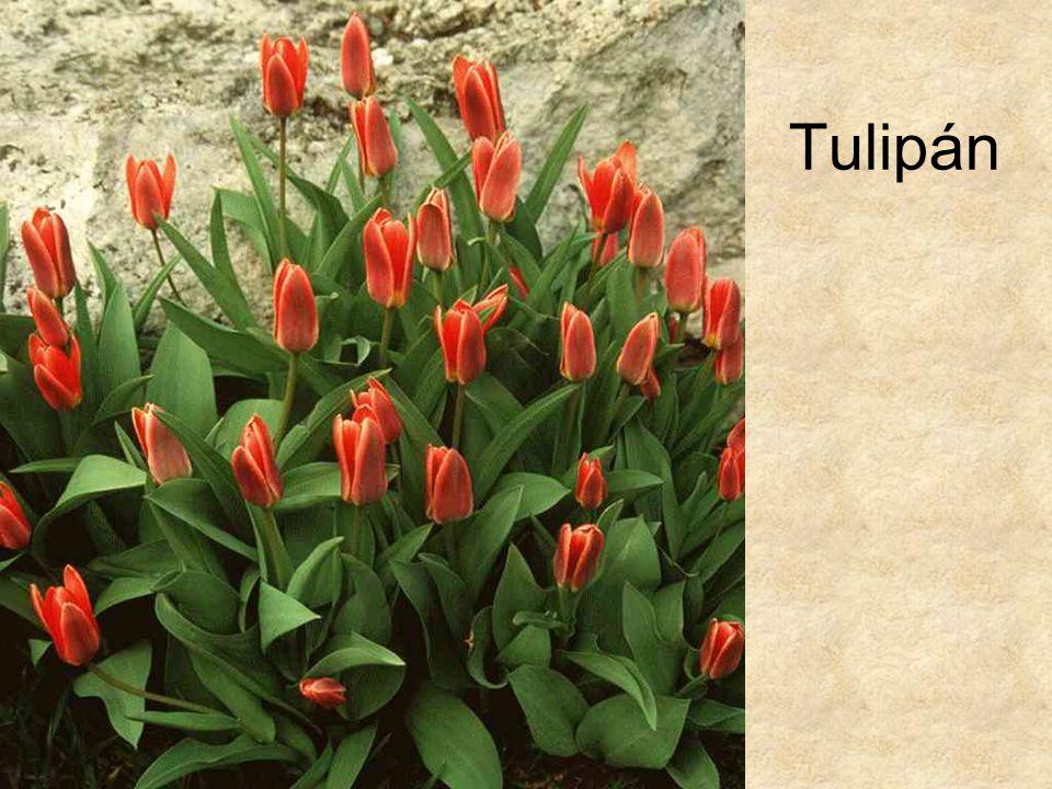 Tulipán HERBÁRIUM – Magyarország növényei CD, Kossuth Kiadó