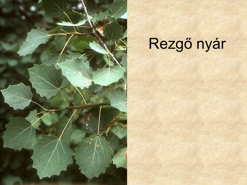 Rezgő nyár Fák és cserjék CD, Kossuth Kiadó