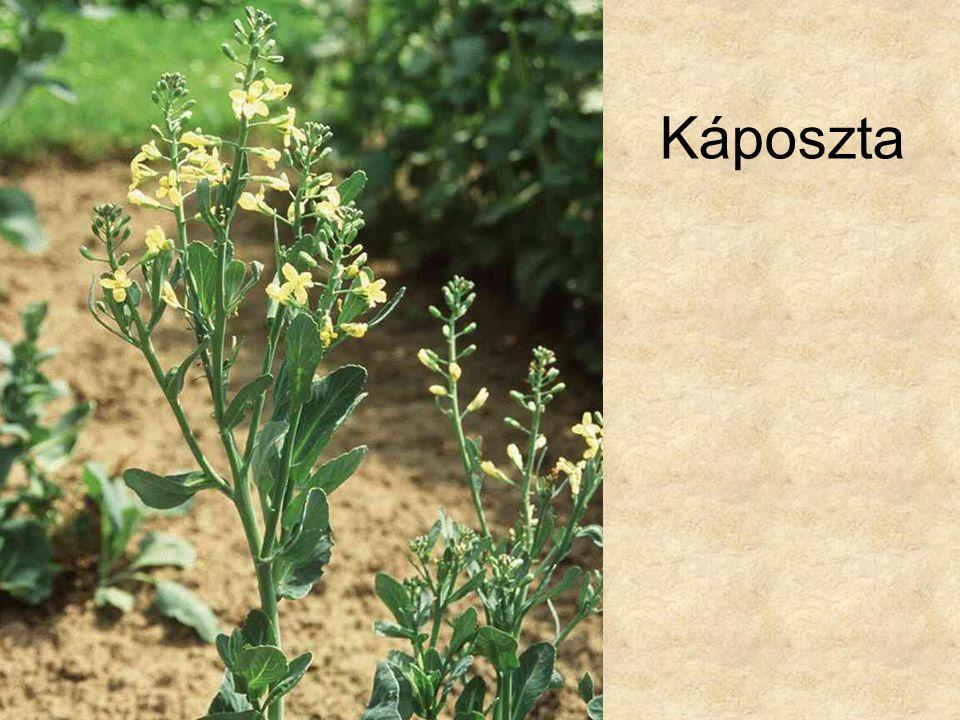 Káposzta HERBÁRIUM – Magyarország növényei CD, Kossuth Kiadó