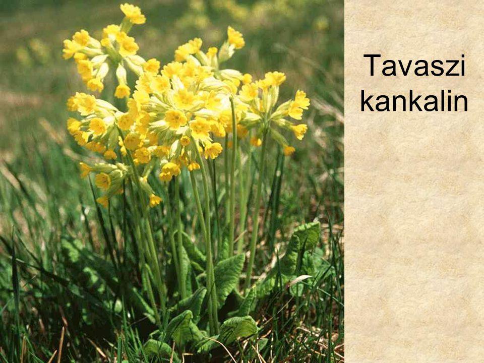 Tavaszi kankalin HERBÁRIUM – Magyarország növényei CD, Kossuth Kiadó