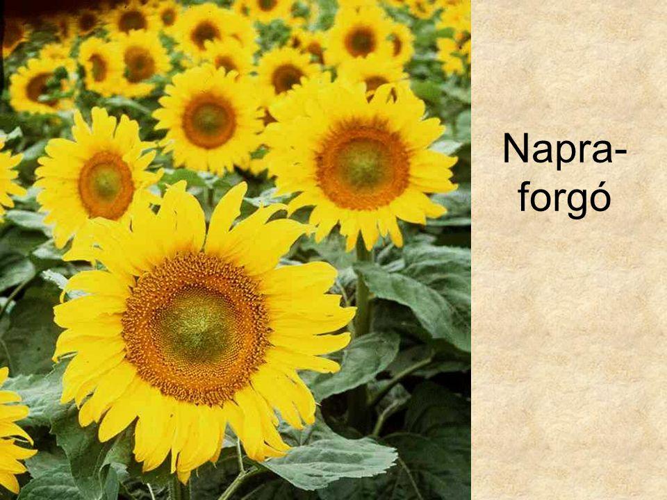 Napra-forgó HERBÁRIUM – Magyarország növényei CD, Kossuth Kiadó