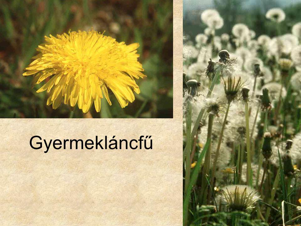 Gyermekláncfű HERBÁRIUM – Magyarország növényei CD, Kossuth Kiadó