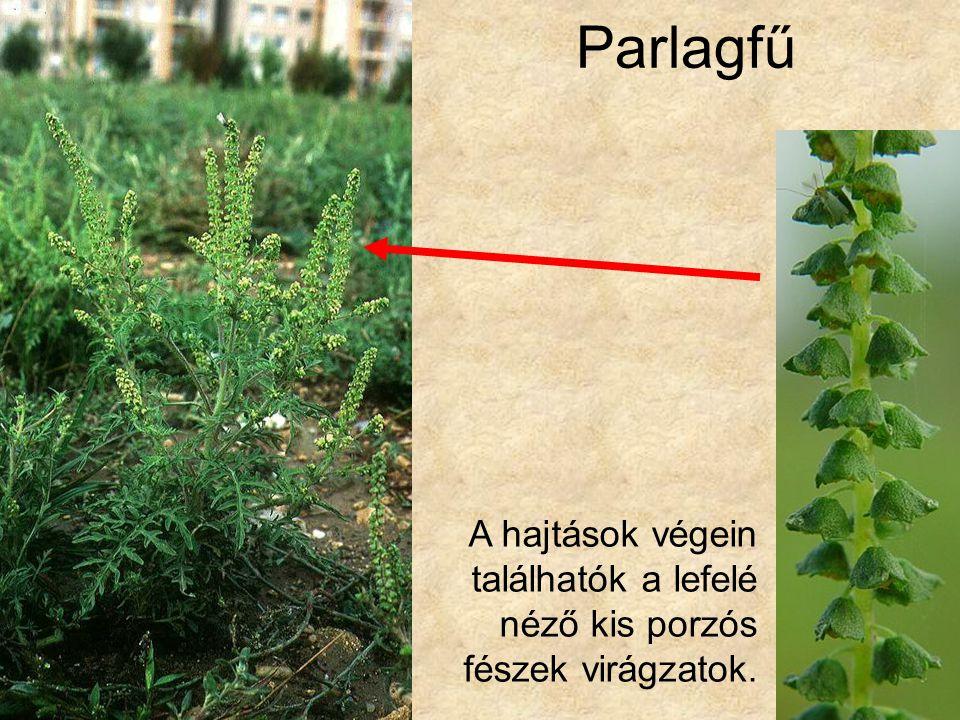 Parlagfű Bal oldali kép: Élőhelytípusok és társulások CD, Kossuth Kiadó. Jobb oldali kép: Internet.