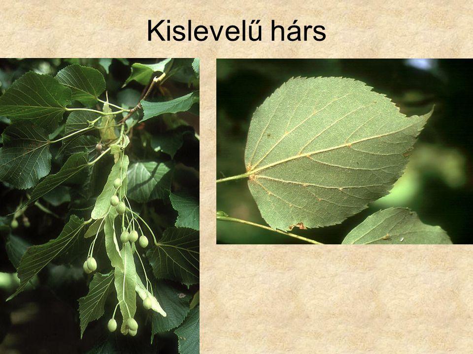 Kislevelű hárs Fák és cserjék CD, Kossuth Kiadó