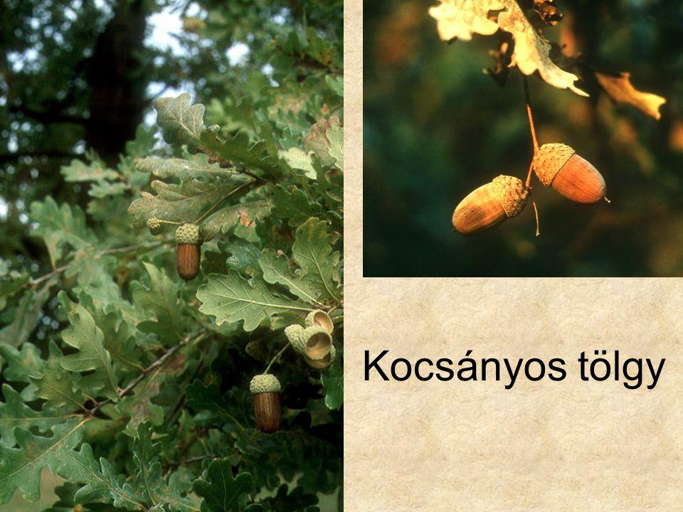 Kocsányos tölgy Fák és cserjék CD, Kossuth Kiadó