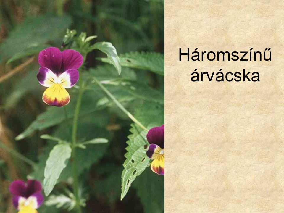 Háromszínű árvácska Vadvirágok CD, Kossuth Kiadó