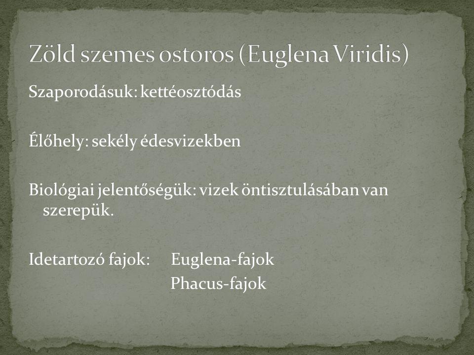 Zöld szemes ostoros (Euglena Viridis)