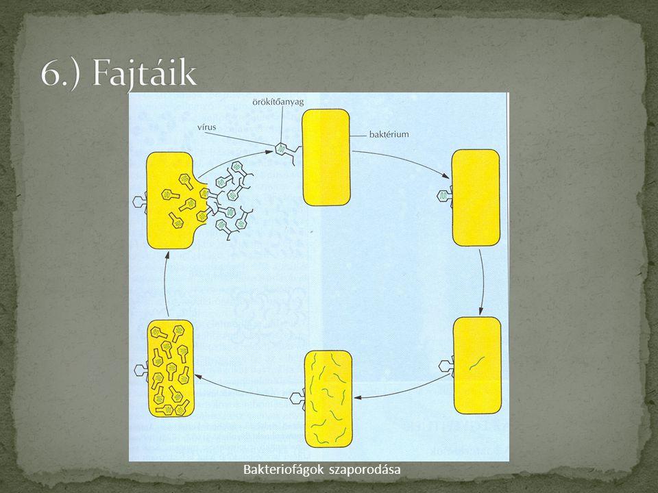 6.) Fajtáik Bakteriofágok szaporodása