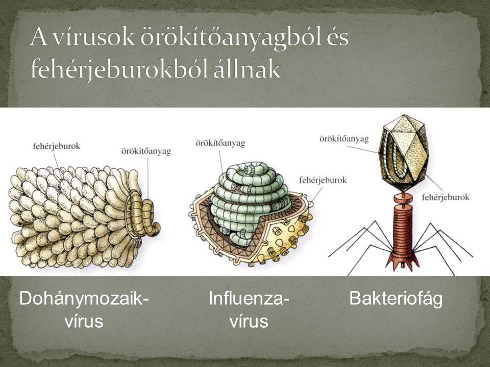 A vírusok örökítőanyagból és fehérjeburokból állnak