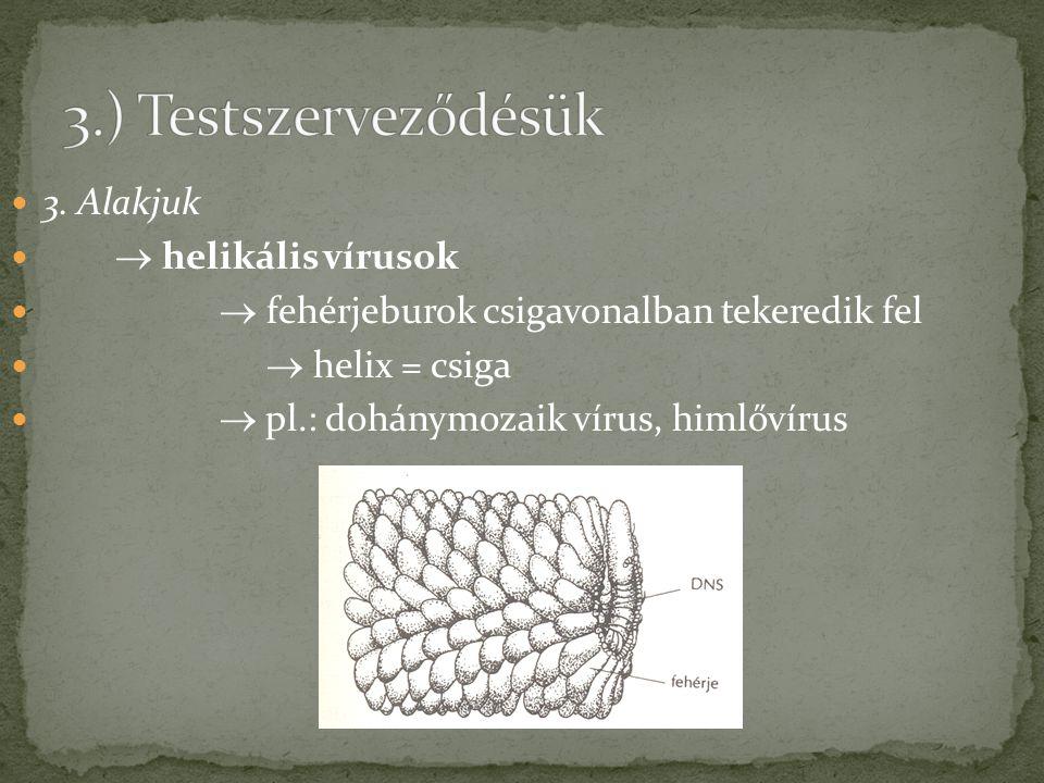 3.) Testszerveződésük 3. Alakjuk  helikális vírusok
