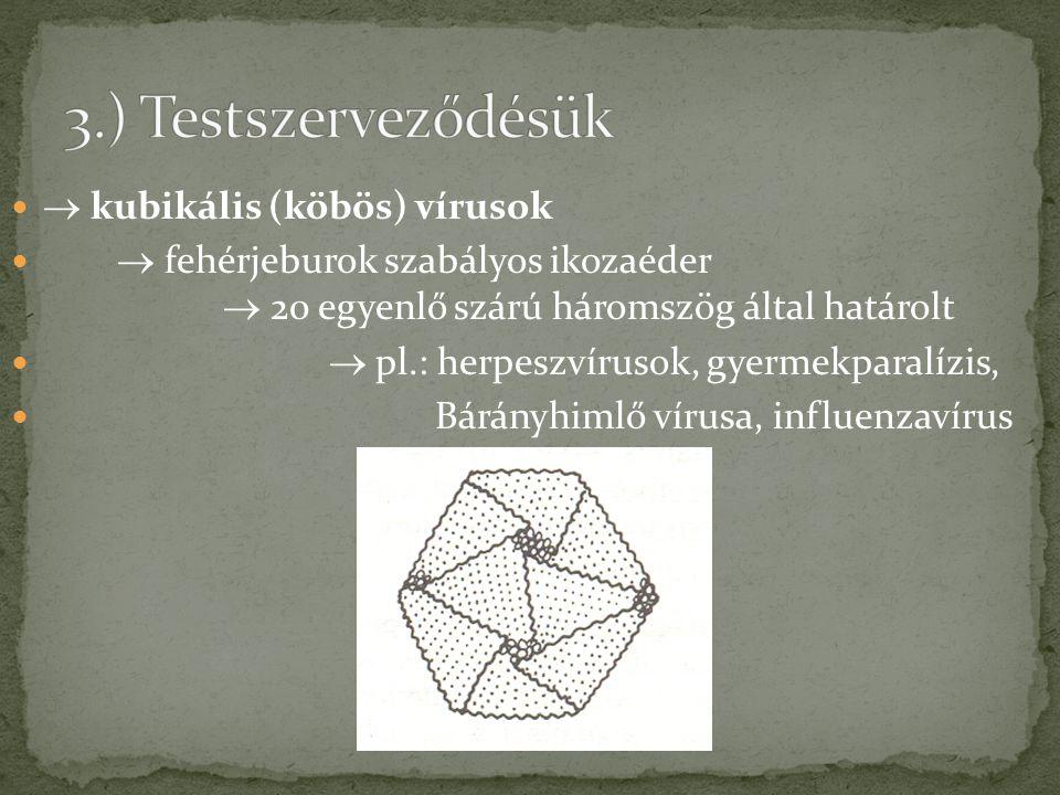 3.) Testszerveződésük  kubikális (köbös) vírusok