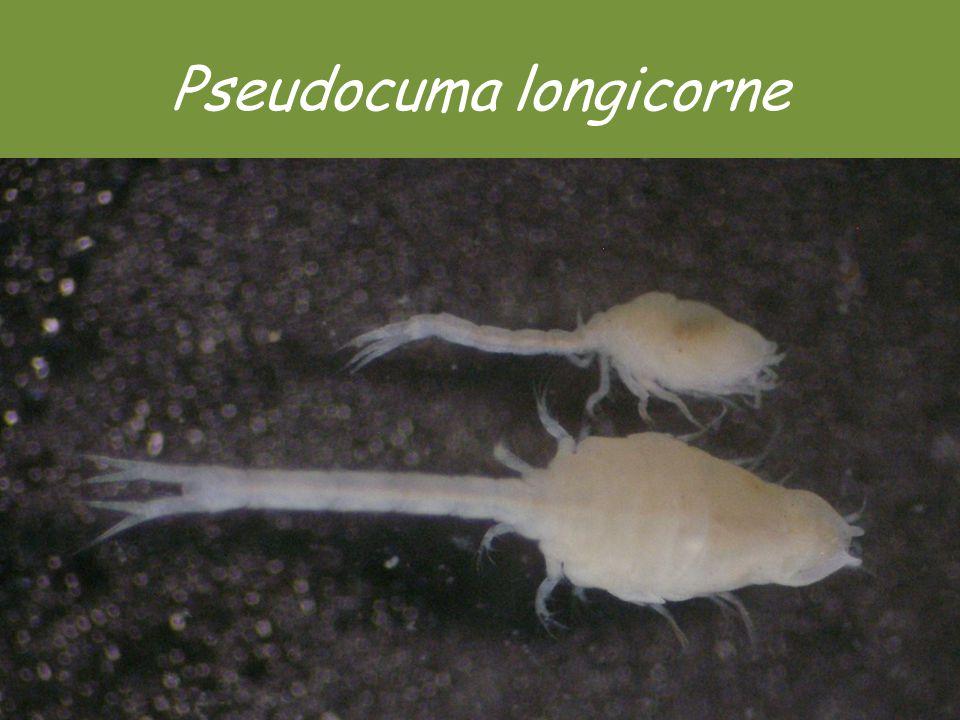 Pseudocuma longicorne