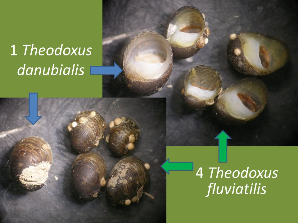 4 Theodoxus fluviatilis