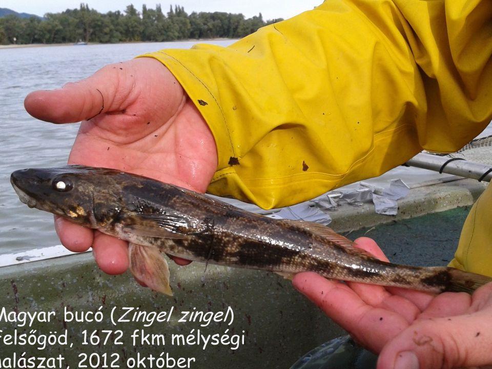 Magyar bucó (Zingel zingel) Felsőgöd, 1672 fkm mélységi halászat, 2012 október