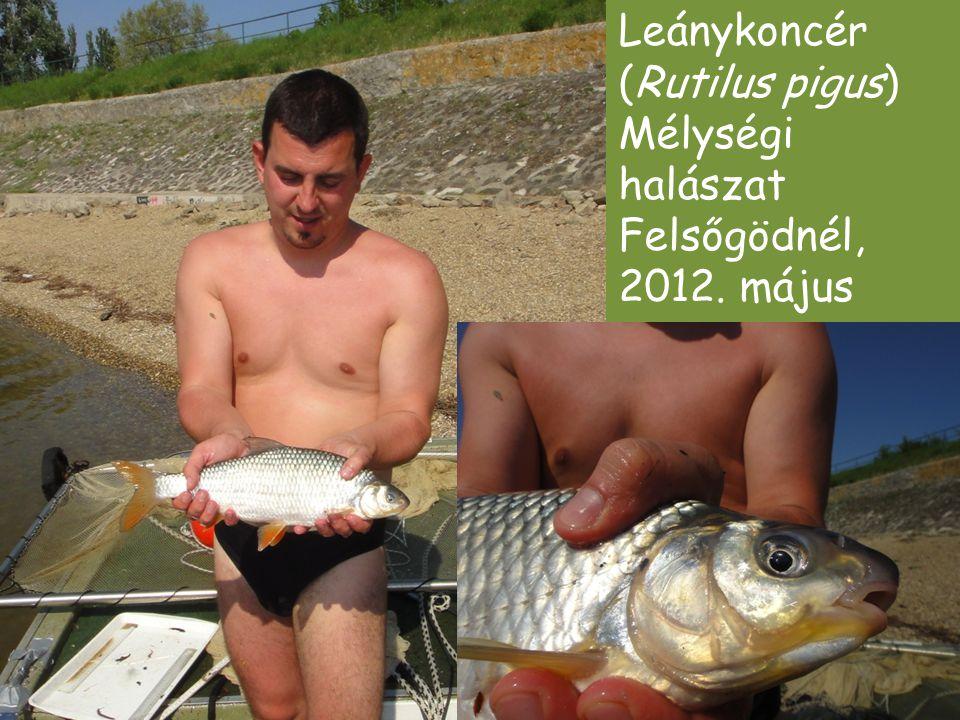 Leánykoncér (Rutilus pigus) Mélységi halászat Felsőgödnél, 2012. május