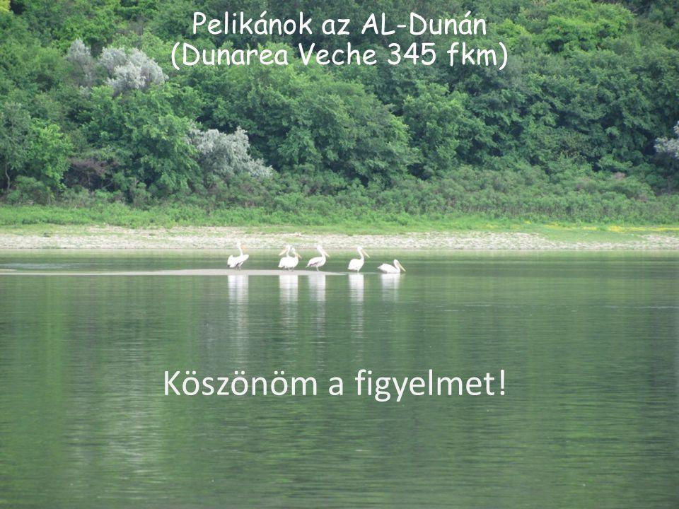 Pelikánok az AL-Dunán (Dunarea Veche 345 fkm)