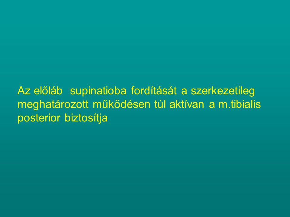 Az előláb supinatioba fordítását a szerkezetileg meghatározott működésen túl aktívan a m.tibialis posterior biztosítja