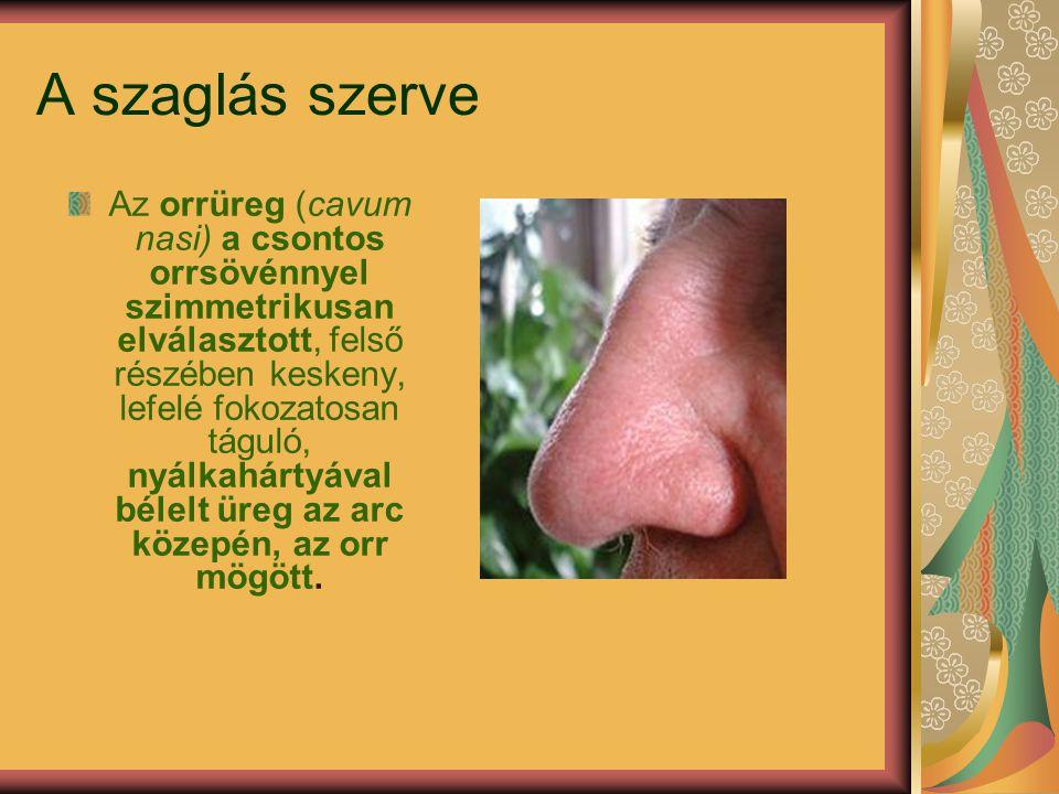 A szaglás szerve