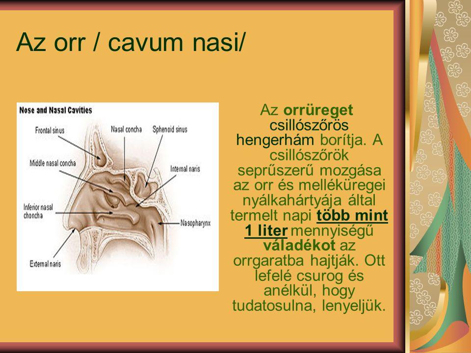 Az orr / cavum nasi/