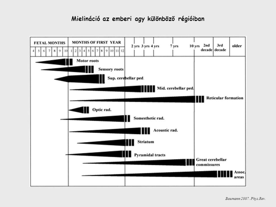 Mielináció az emberi agy különböző régióiban