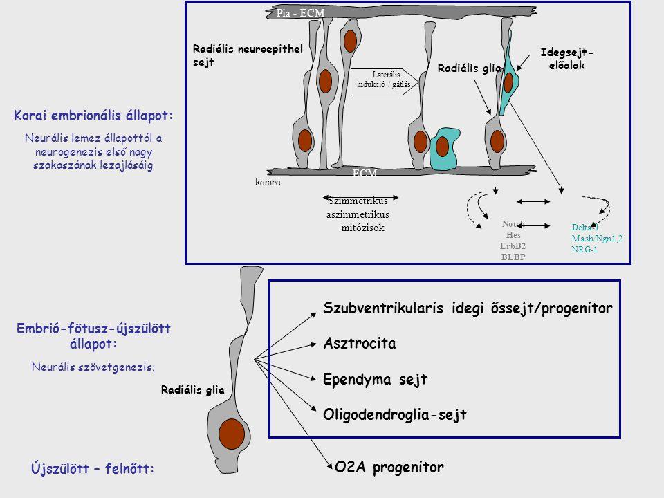 Korai embrionális állapot: Embrió-fötusz-újszülött állapot: