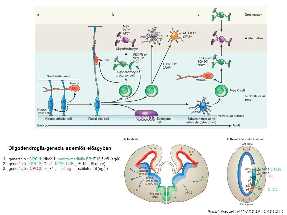 Oligodendroglia-genezis az emlős előagyban