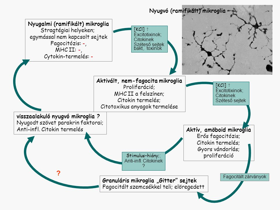 Nyugvó (ramifikált) mikroglia Nyugalmi (ramifikált) mikroglia