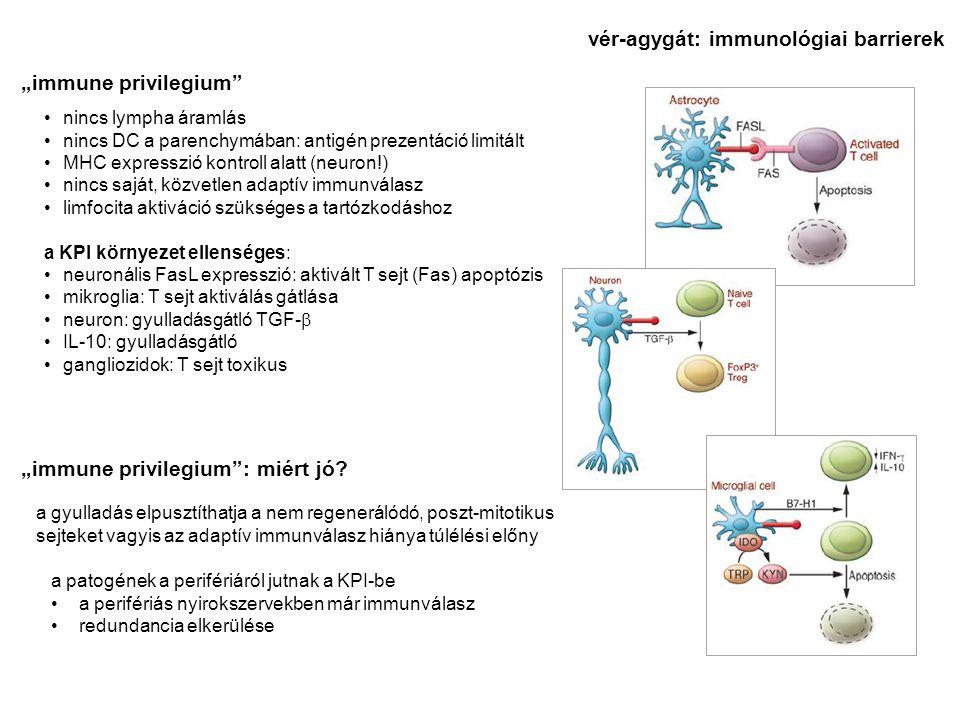 vér-agygát: immunológiai barrierek