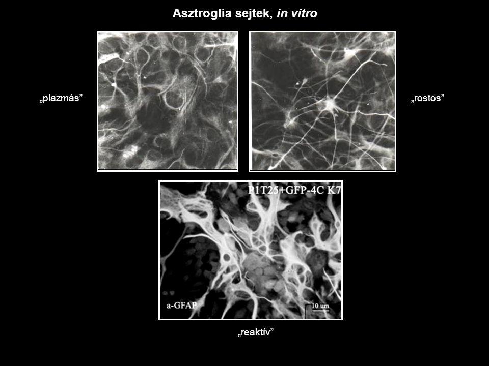 Asztroglia sejtek, in vitro