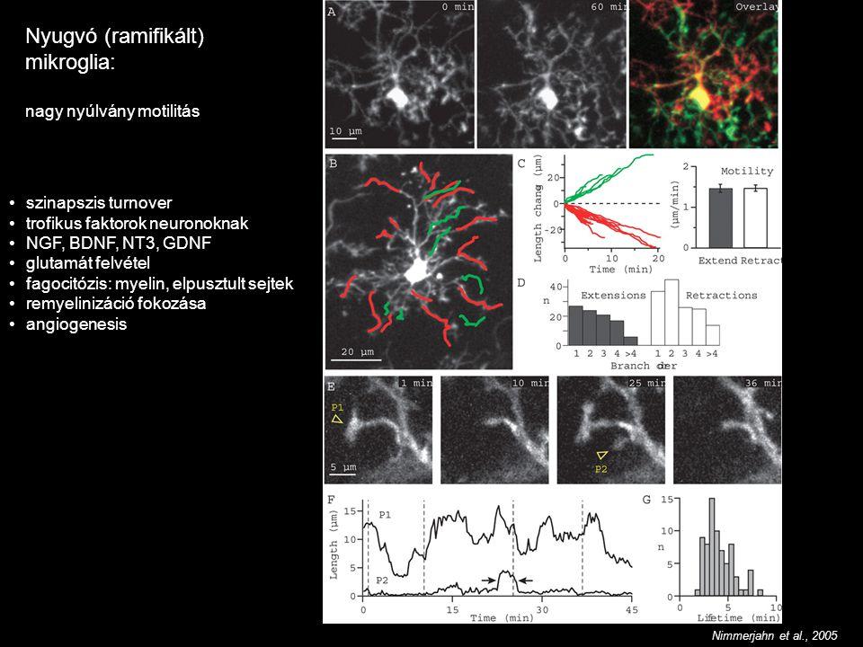 Nyugvó (ramifikált) mikroglia: