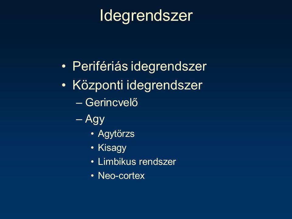 Idegrendszer Perifériás idegrendszer Központi idegrendszer Gerincvelő
