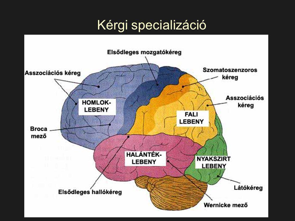 Kérgi specializáció