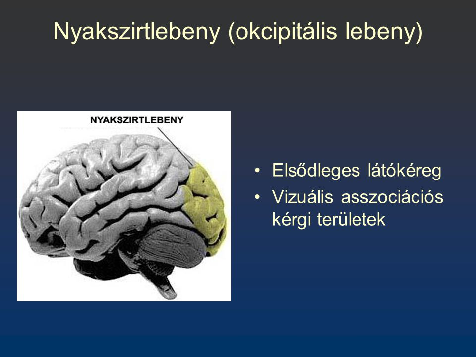Nyakszirtlebeny (okcipitális lebeny)
