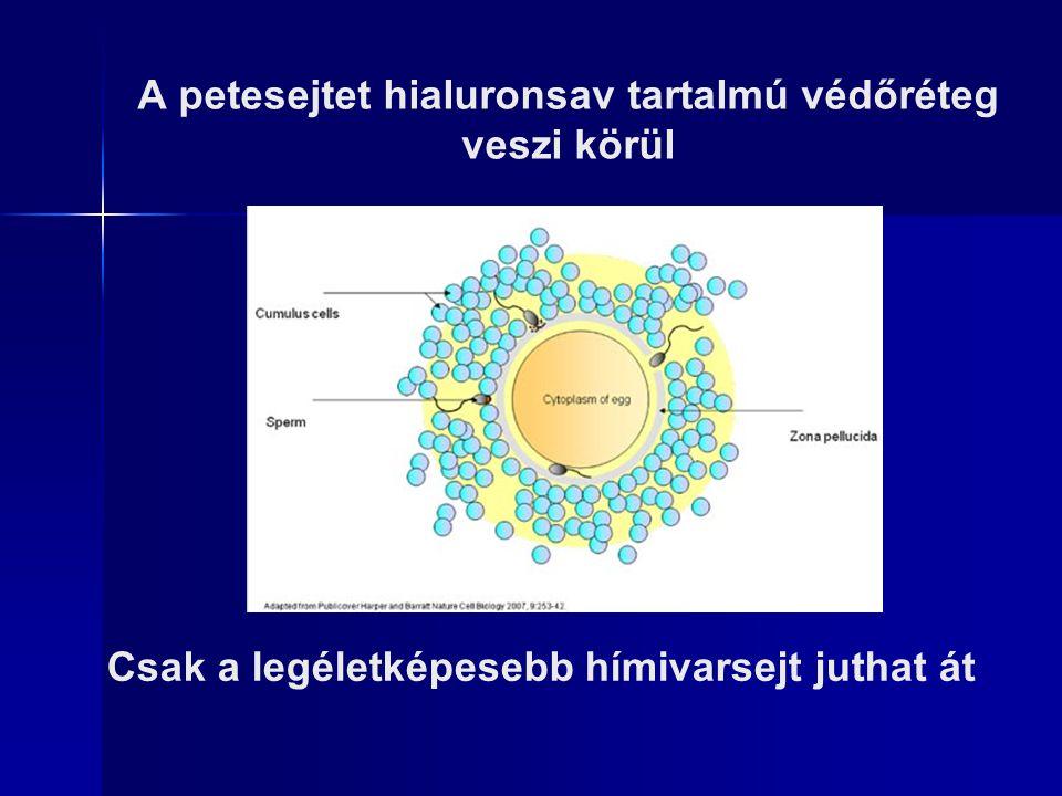 A petesejtet hialuronsav tartalmú védőréteg veszi körül